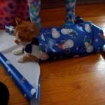 さあクリスマスだ!猫をラッピングしてあげよう!(無理やりはダメよ)