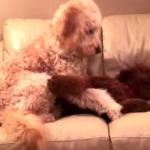 ソファで悪夢にうなされる犬を起こしてあげるワンコ