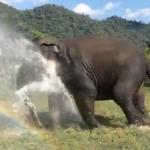 象さんがスプリンクラーを壊しちゃう!自分用の強力噴水シャワーを浴びて楽しむゾウ!