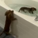 犬だけどお風呂大好きミニチュアダックス!兄弟ダックスフンドがお風呂で泳ぐ!