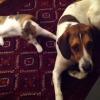 カーテンの裏から犬にジャンプする猫!