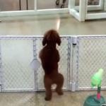 飼い主が戻ってきて大興奮の犬!2本足で立ったまま足踏み地団駄!