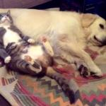 犬をマクラに超リラックスする猫