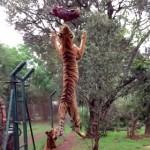 トラのジャンプが美しい!飛び上がってエサをキャッチする虎さんをスローモーションで!