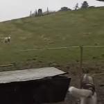 幼なじみのハスキー犬と再会した羊!群れを離れて全力で駆け寄ってくる!