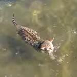 豹柄で愛らしいベンガル子猫がスイスイ泳ぐ!