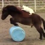 犬が馬を乗りこなす!?馬に乗って障害物を飛越しちゃう犬!