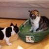 猫にベッドを奪われた犬!ベッドを取り返そうとするフレンチブルドッグが可愛い!