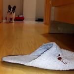スリッパ大好きフレンチブルドッグ!今日もスリッパを狩りに走り回る犬!