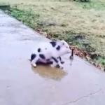 氷の歩道を滑ってしまう子豚さん
