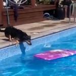 ビート板でプールを渡る犬