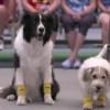犬だってボールボーイできるもん!テニスの試合でボールを拾う3匹の犬が可愛い!