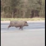 テキサスの道路を走る豚!しかし、それだけではなかった!