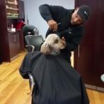 人間みたいに床屋で散髪する犬