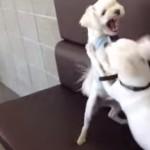 白い犬達のケンカを仲裁する白い犬