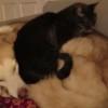 犬の上で眠る猫!猫にベッド扱いされる犬!