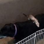 大脱走!フェレットが犬の背中を使って脱出する一部始終!
