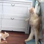 ジタバタ子猫!お母さん猫の失敗に驚いてタンスの下に潜り込む子猫達が可愛すぎる!