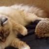 ハリネズミを踏んづけちゃった猫の驚きが可愛い!