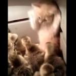 アヒルの子供達にモミクチャにされる子猫