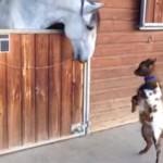 馬が大好きな子ヤギが超可愛い!二本足で立ってピョンピョンと馬に近づく子山羊さん!