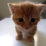 鳴いてた子猫が大人猫に叱られて落ち込んじゃう!テーブルの上で怒られてシュンとなる小猫!