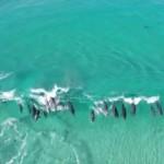 サーフィンを楽しむバンドウイルカの群れを空中から撮影