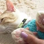 猫の肉球をプニプニとマッサージする動画!肉球の色の秘密も!