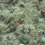 偽装タコさん!海底にカモフラージュしている蛸が分かるかな?