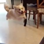 ジャンプしてソファに激突する犬