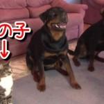 ネコ凄い!犬2匹と同じ芸をする猫!