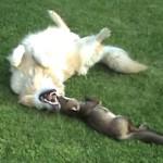 キツネと猟犬!仲良しの子狐と犬が愛らしい!