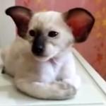 シャムネコアラ現る!?コアラみたいなシャム猫!いや、シャム猫みたいなコアラ?