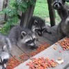 アライグマの子供が5匹も!?庭先でキャットフードを夢中で食べる五匹のあらいぐま!