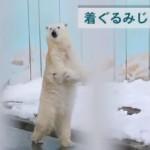 立って歩く白熊!人間っぽくて大人気のホッキョクグマが釧路市動物園に!
