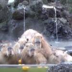 カピバラ温泉だ!露天風呂や柚子湯を楽しむカピバラ達!
