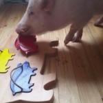 豚のパズルを解くブタさん