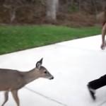 野生の鹿が毎朝ミルクを飲みに来るよ!台所で哺乳びん一気飲みしちゃう小鹿!