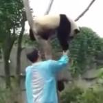 絶対に木から降りないパンダ