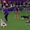 ドッグレースで感動!チャンピオン犬、ボーダーコリーが凄まじい速度でコースを走る!