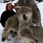 甘えすぎ!4匹のオオカミが女の子に再会して大興奮!