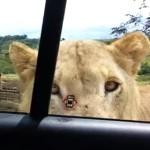 笑える恐怖!サファリパークのライオンがあんな事を!