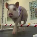 ドッグランをする子豚