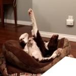 手を上げ下げしながら寝る犬
