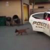 なんか可愛い!生後14週間の警察犬が犯人確保訓練!