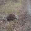地上で相撲するコアラを見守る犬