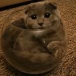 金魚鉢に頑張って入る猫