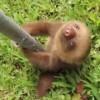 ナマケモノの赤ちゃんの声を聞こう!意外な運動神経も発揮!
