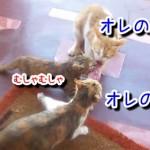 お笑い肉の争奪戦!三匹の猫が肉を奪い合う!かしこい1匹に注目!