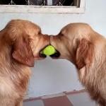 テニスボールを引っ張り合う犬!そこにもう1匹現れて?